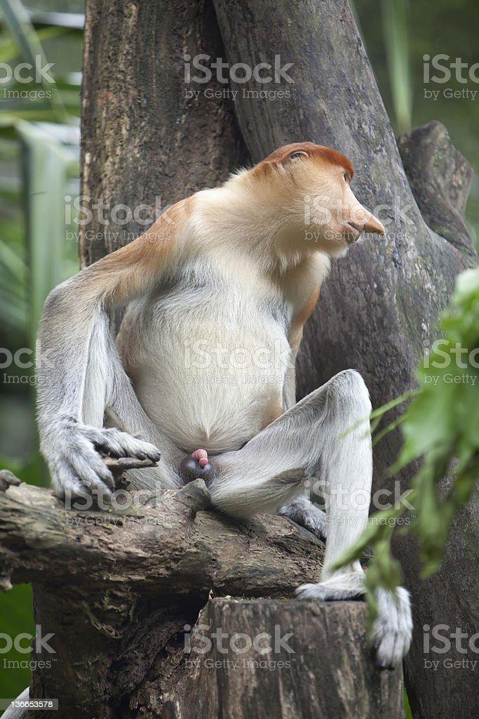 Male Proboscis Monkey royalty-free stock photo