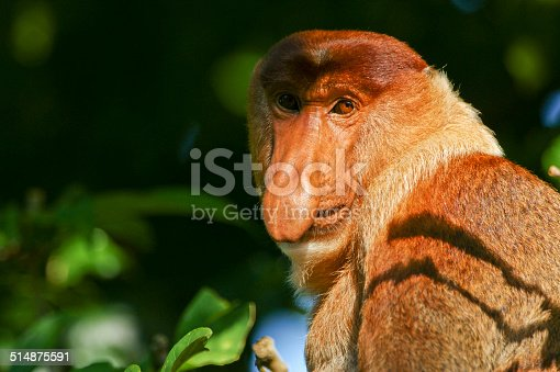Wild male proboscis monkey in Bako National Park near Kuching in Malaysia's Borneo.