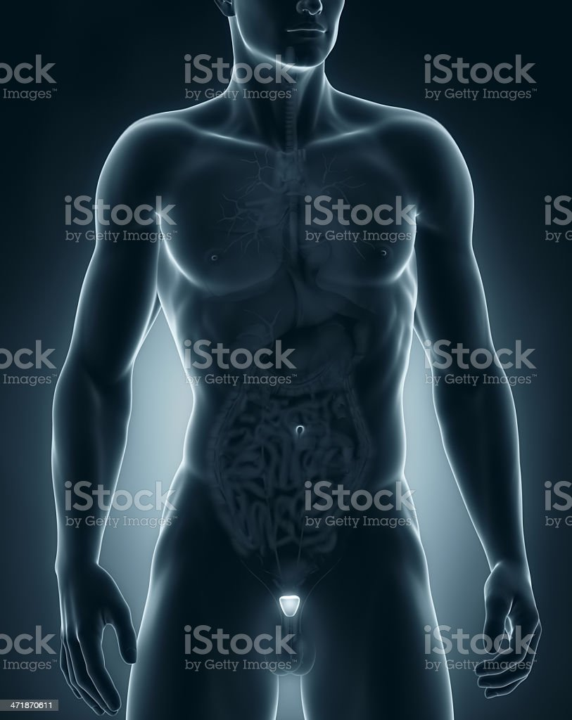 Male Prostate Anatomy Anterior View Stock Photo & More Pictures of ...