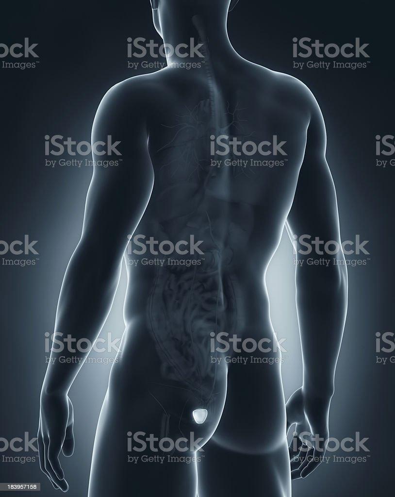 Fotografía de Hombre Anatomía De Próstata Vista Posterior y más ...