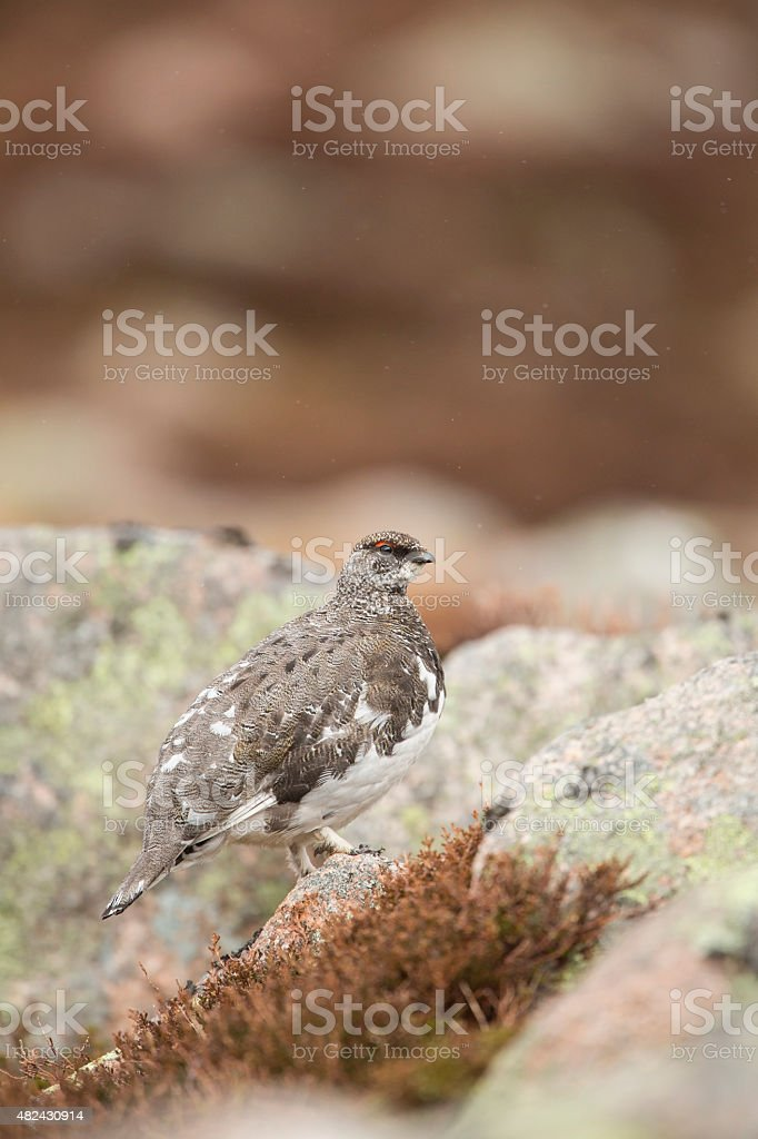 Male Ptarmigan Amongst The Rocks stock photo