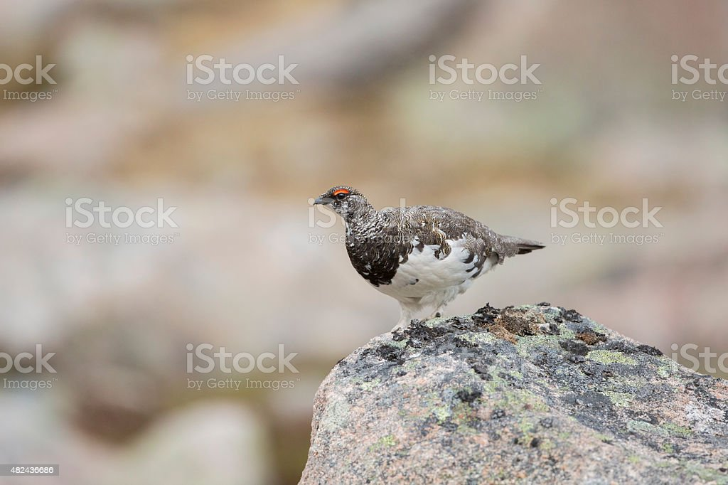 Male Ptarmigan Looking From A Boulder stock photo