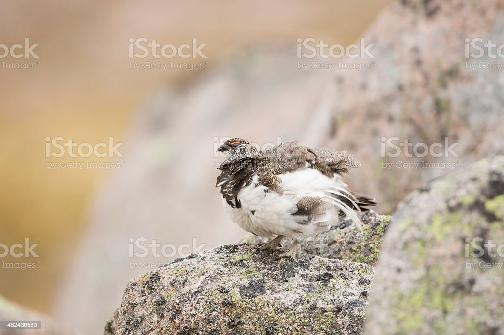 Male Ptarmigan Shaking stock photo