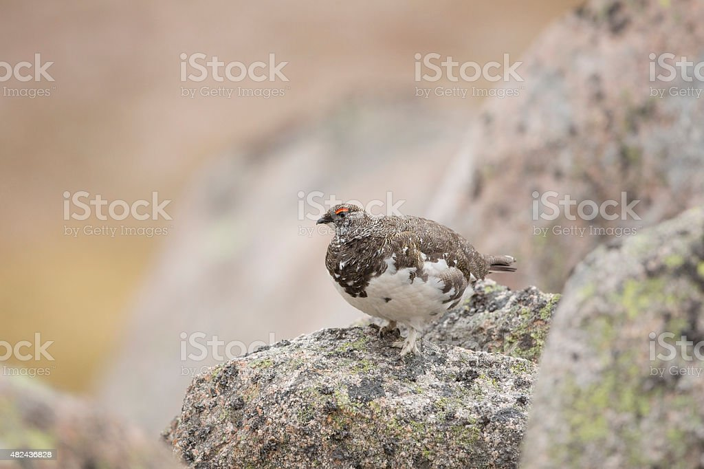 Male Ptarmigan Stood On A Rock stock photo