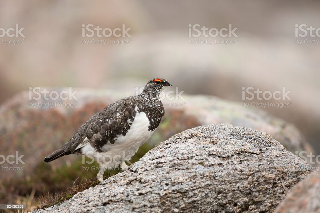 Male Ptarmigan Walking Amongst The Rocks stock photo
