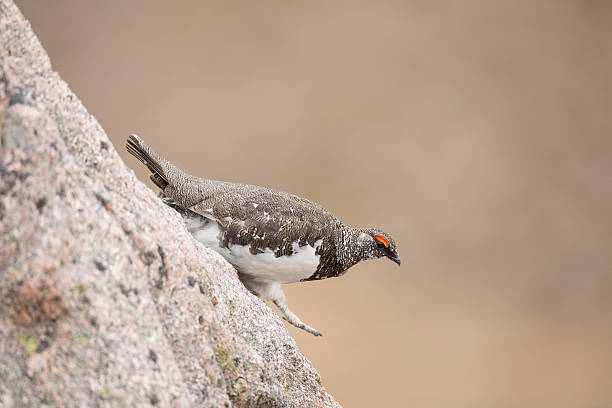 Male Ptarmigan Walking Downhill On A Boulder stock photo