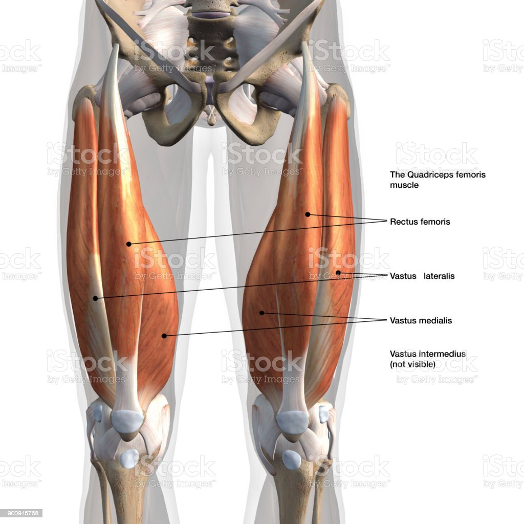Male Quadriceps Muscles Anterior View Labeled On White Stock Photo ...