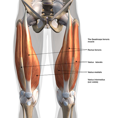 Frontal view of man's isolated leg muscles with labeled names