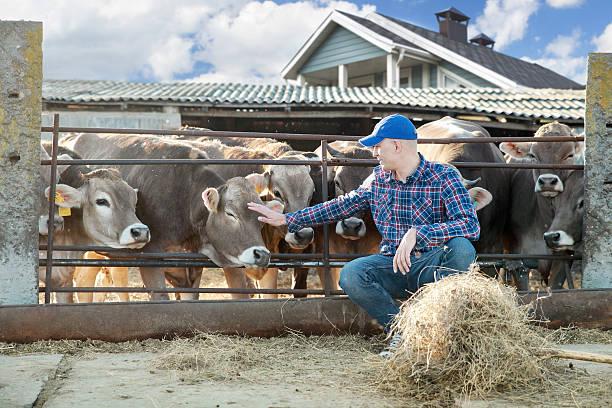 Macho ganadero en una granja - foto de stock