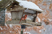 This image shows a single isolated male red cardinal at an old bird feeder in a snow storm.