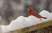 A Northern Cardinal waits out a winter storm.