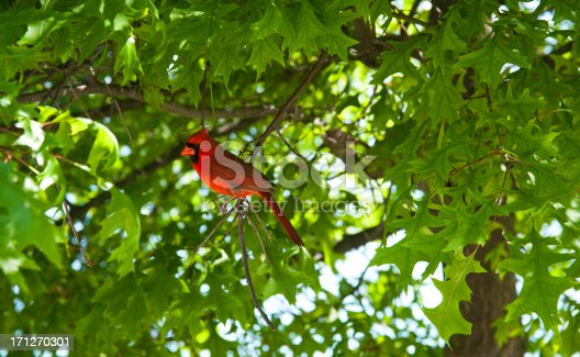A vibrant red male cardinal sitting amongst the leafs of a deciduous tree in the spring.