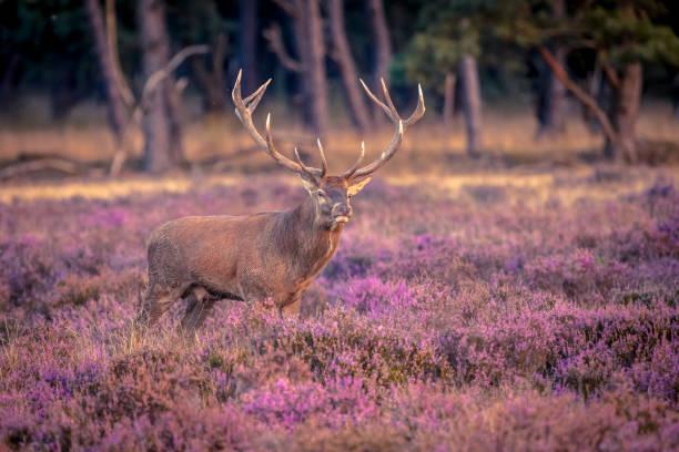 Male red deer in heathland stock photo