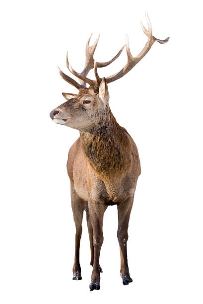 Male red deer isolated on white background stock photo