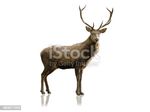 male red deer isolated on white