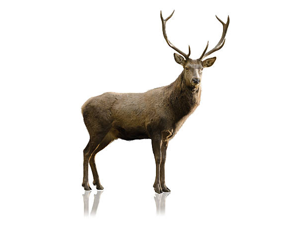 male red deer isolated on white stock photo