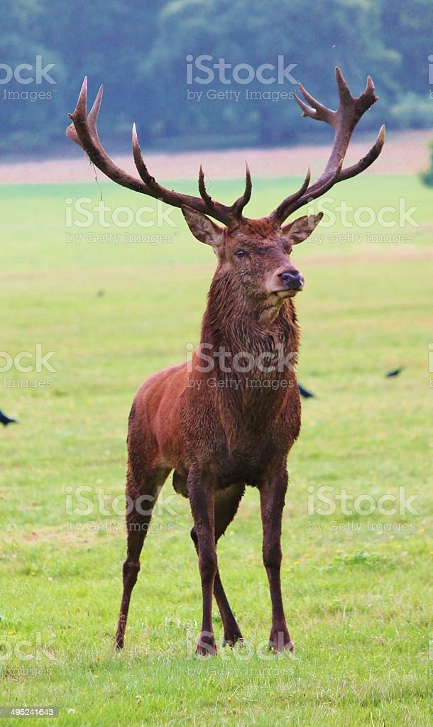 Male red deer stag royalty-free stock photo
