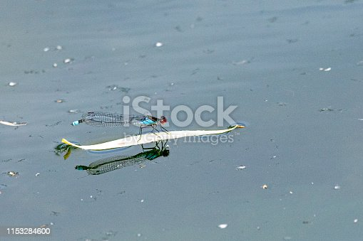 istock Male red eyed damselfly (Erythromma najas) 1153284600