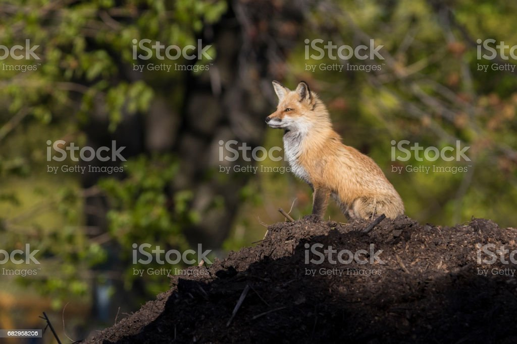 Male red fox royalty-free stock photo