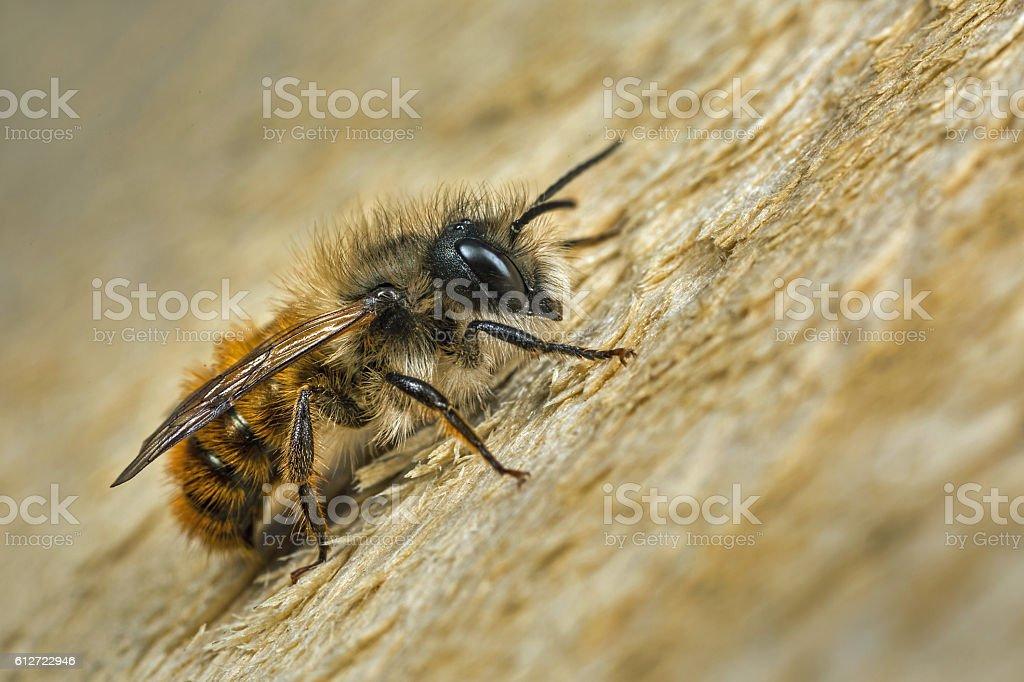 Male Red Mason Bee - Photo