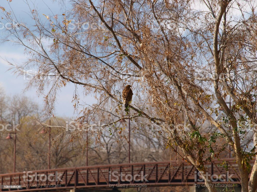 Male Red Shoulder Hawk stock photo