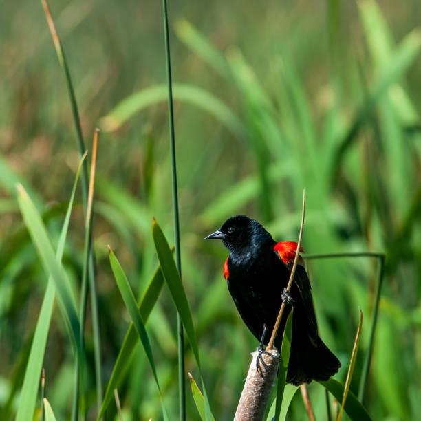Male Red Winged Blackbird Perched on a Cattail stock photo