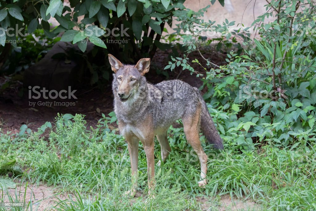 Male Red Wolf (Canis rufus) stock photo
