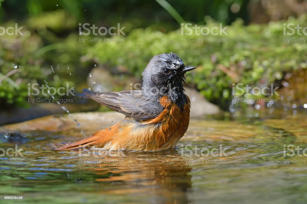 Male Redstart washing (Phoenicurus phoenicurus) stock photo