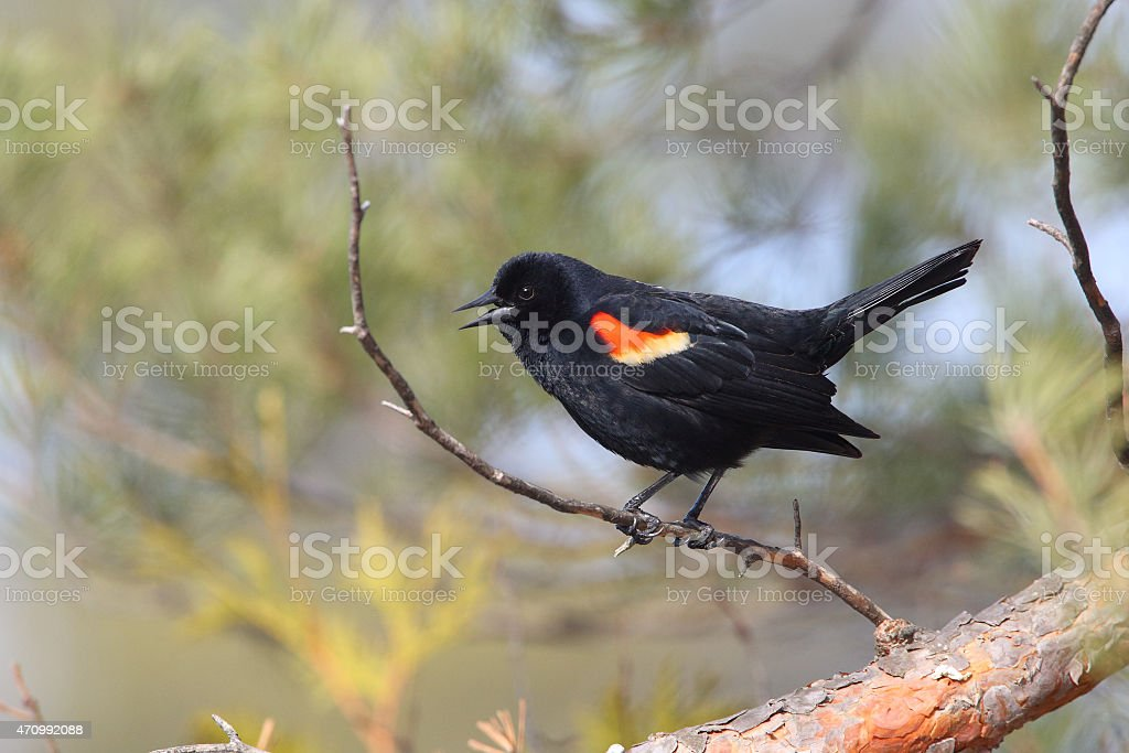 Male Red-winged Blackbird calling from a perch stock photo
