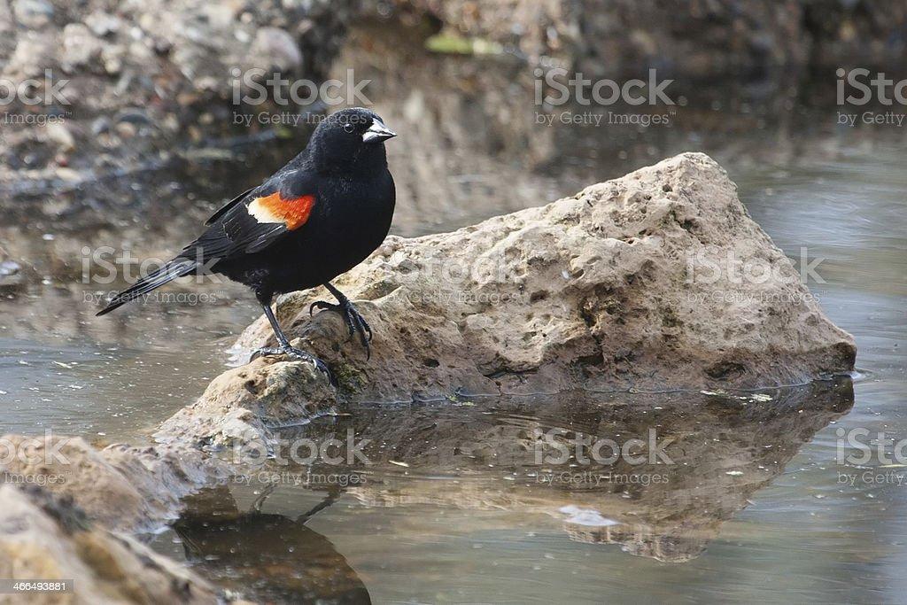 Male Red-winged Blackbird in the marsh stok fotoğrafı