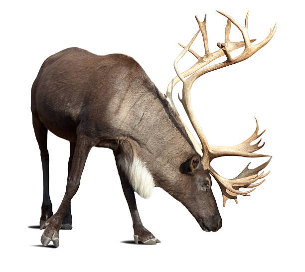male reindeer over white with shade stock photo