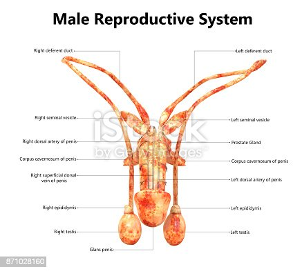 istock Male Reproductive System Anatomy (Detailed Labels) Anterior view 871028160