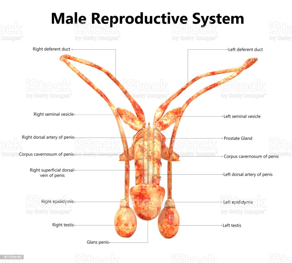 Male Reproductive System Anatomy (Detailed Labels) Anterior view stock photo