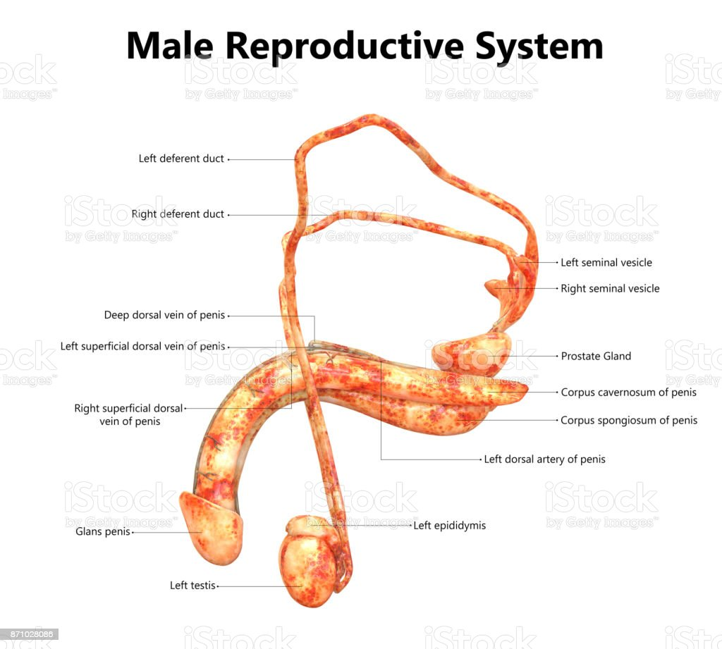 Male Reproductive System Anatomy (Detailed Labels) Lateral View stock photo