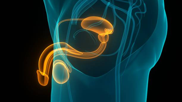 Male Reproductive System Anatomy stock photo