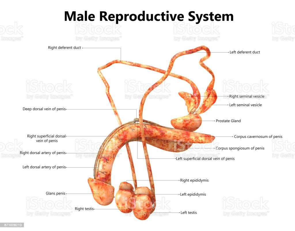 Male Reproductive System Anatomy (Detailed Labels) stock photo