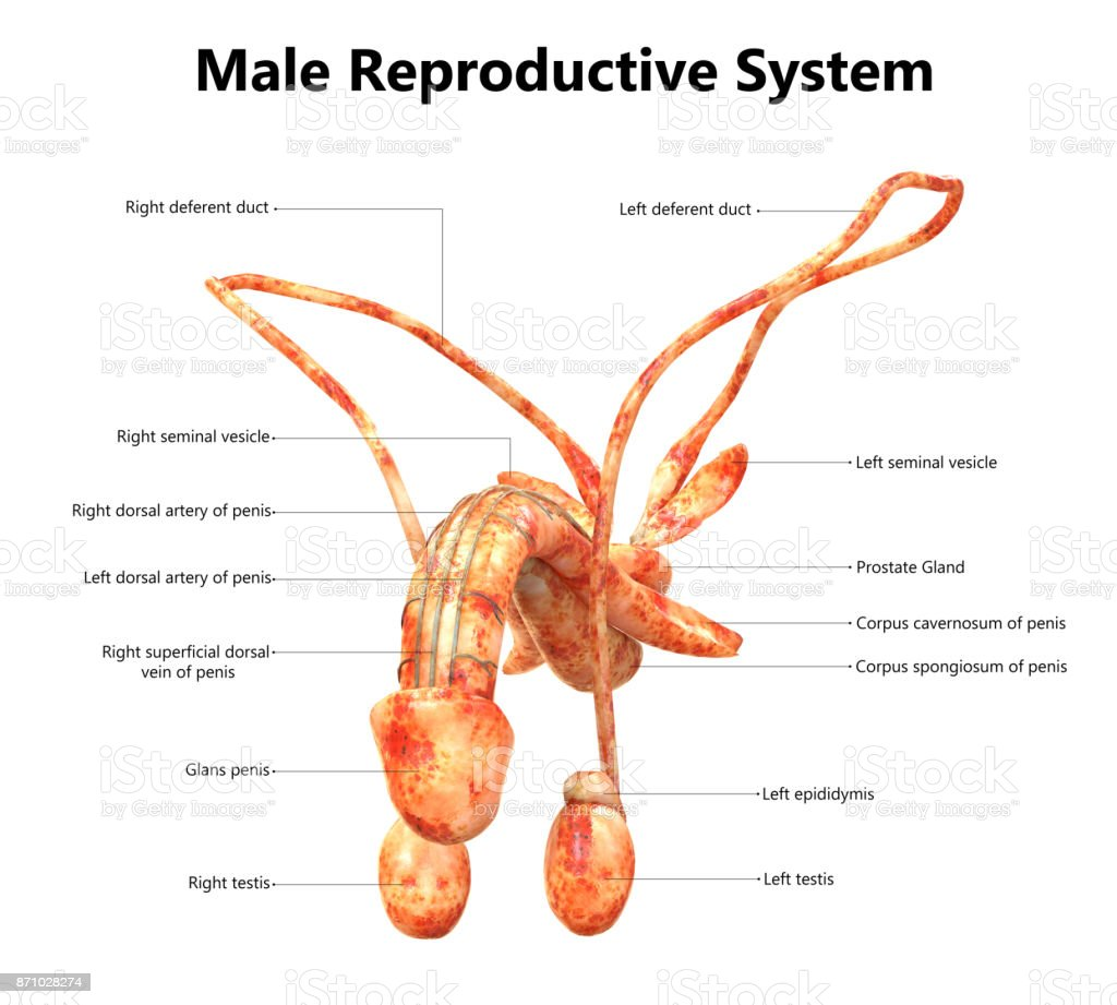 Male Reproductive System Anatomy Stock Photo More Pictures Of