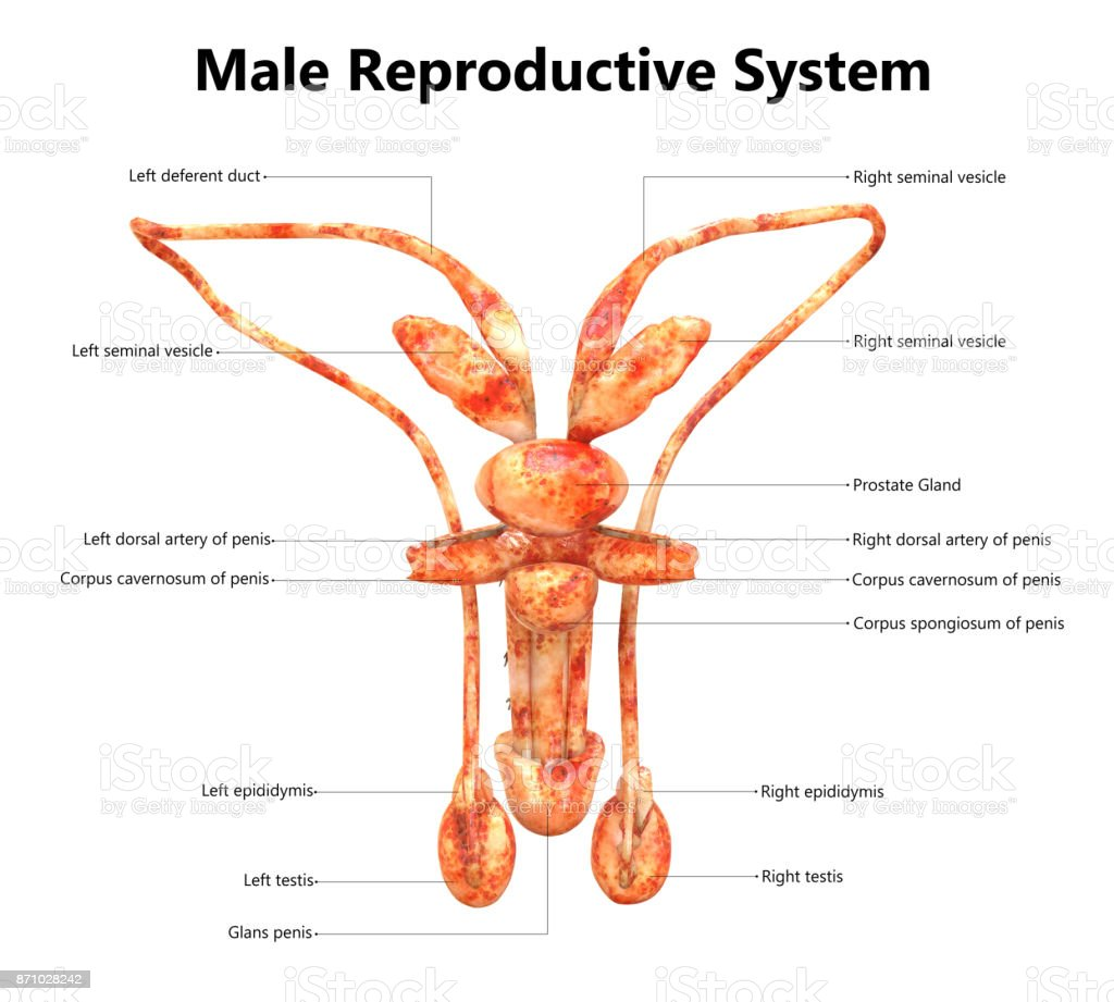 Male Reproductive System Anatomy (Detailed Labels) Posterior view stock photo