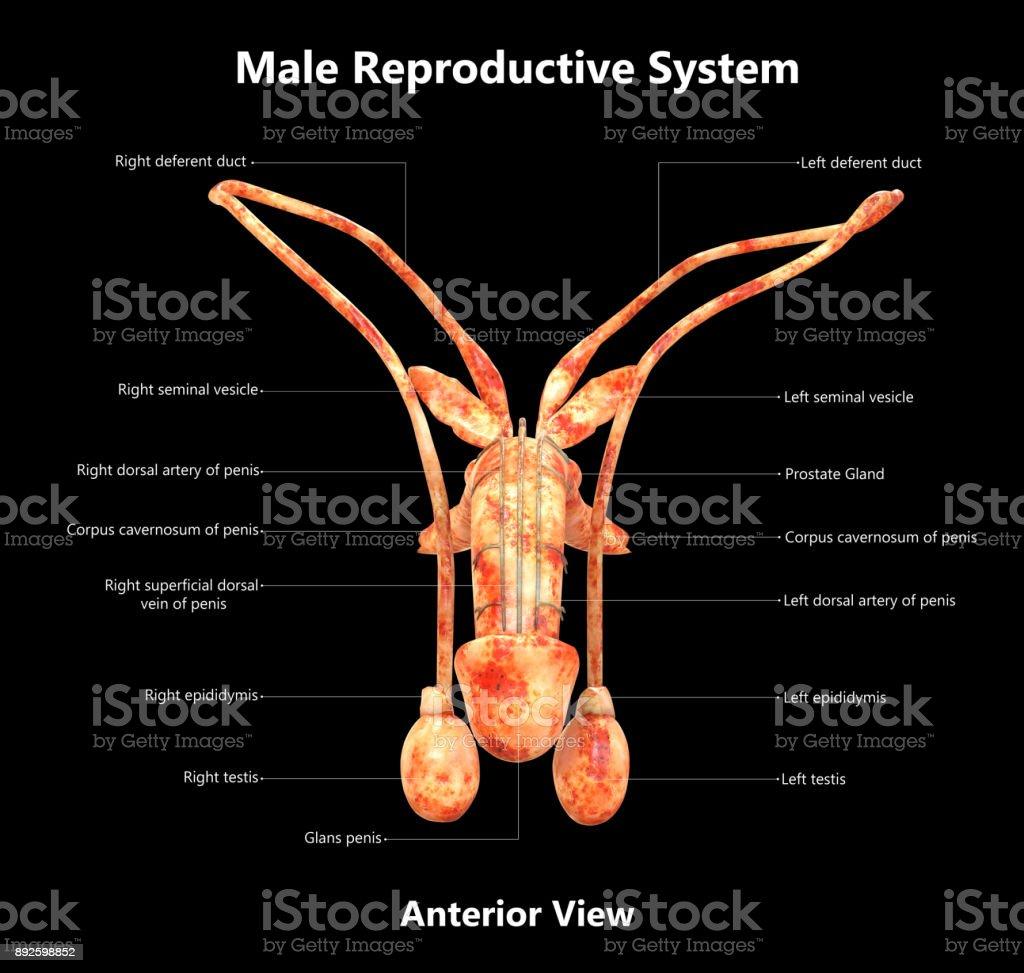 Sistema Reproductor Masculino Detallada Anatomía De Etiquetas ...