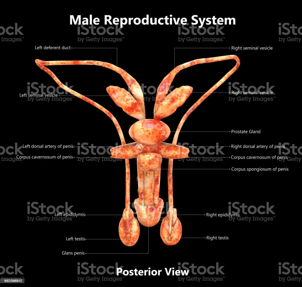 Anatomy of male reproductive system pictures