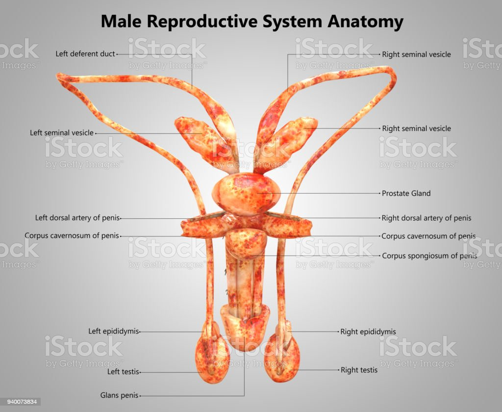 Male Reproductive System Label Design Anatomy Stock Photo More