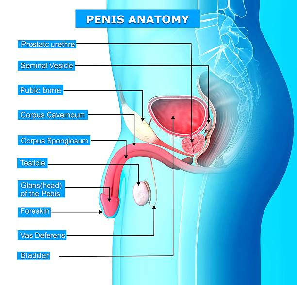 Royalty Free Male Reproductive Organ Pictures, Images and Stock ...