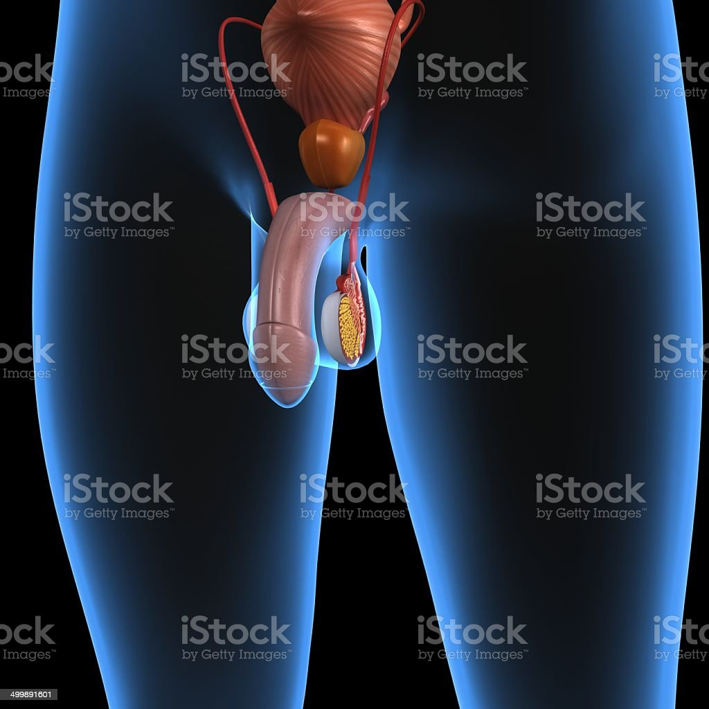 Male anatomy pictures photos