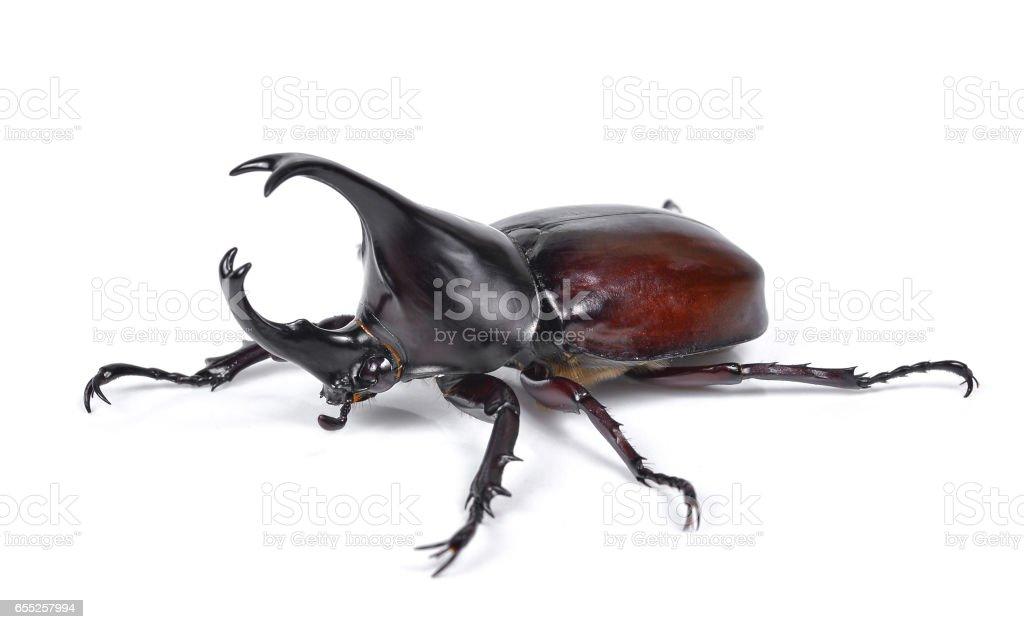 Fotografía de Escarabajo Del Varón Escarabajo Del Rinoceronte ...