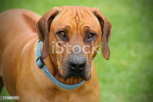 a Male Rhodesian ridgeback dog staring straight at you. Focus on the nose.
