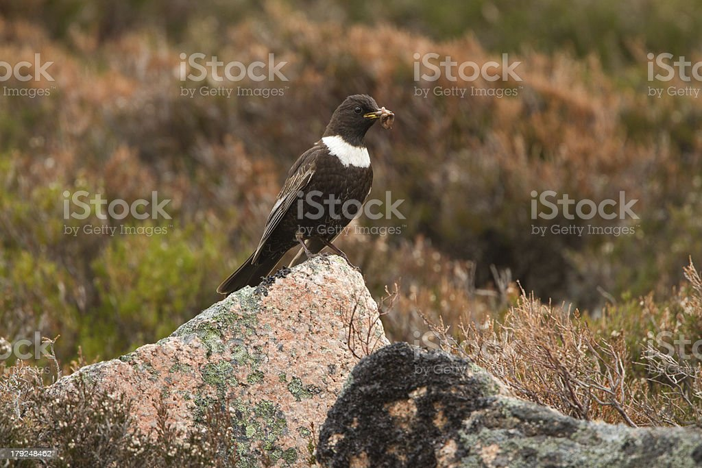 Male Ring Ouzel Male Ring Ouzel with Worms photographed on the Cairngorms in Scotland. Animal Stock Photo