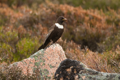 Male Ring Ouzel Stock Photo - Download Image Now