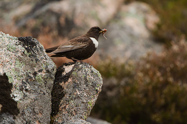 Male Ring Ouzel stock photo
