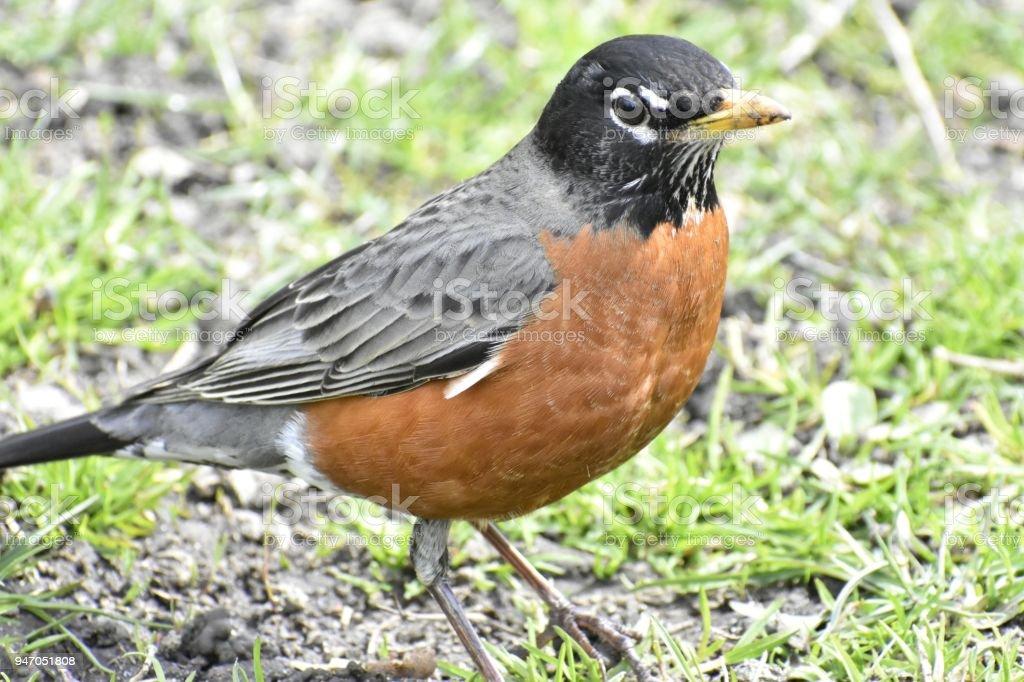 Male Robin, Boston Common stock photo