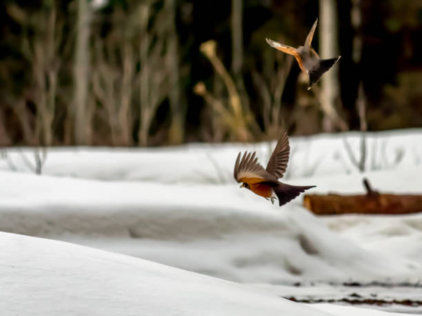 Male robins competing for territory with snowy background stock photo